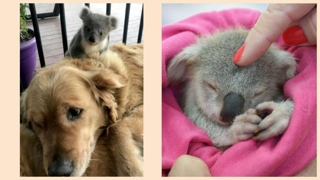 Собака спасает потерянного детеныша коалы