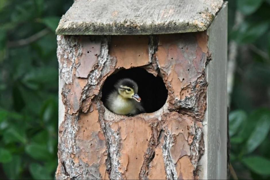 Необычный дуэт - приемная мама сова и маленький утенок!