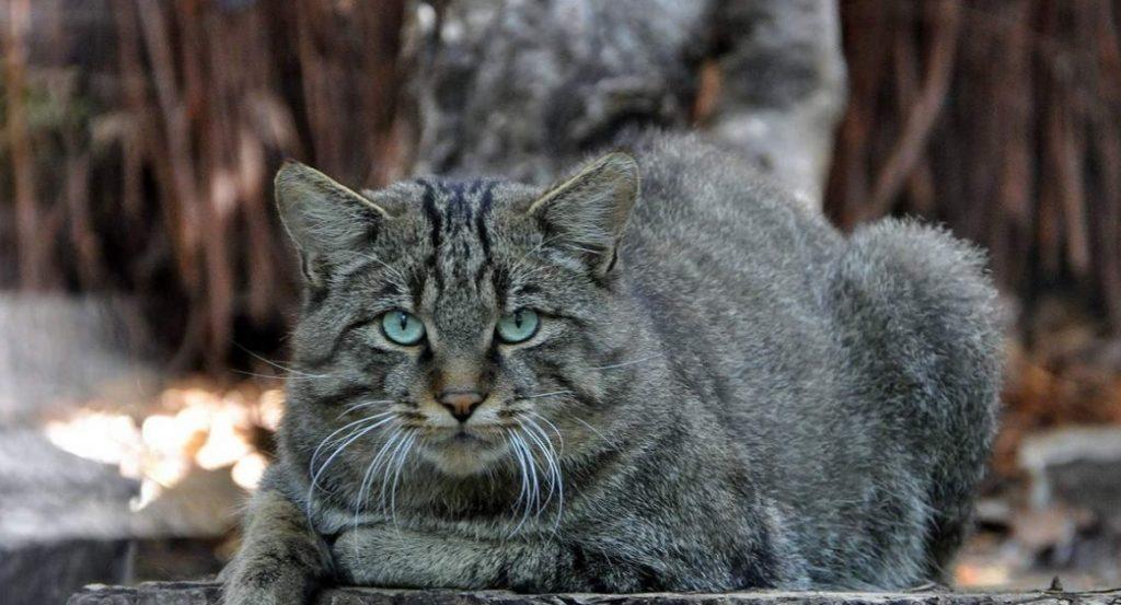 Краснокнижного дикого лесного кота, угодившего в капкан, реабилитировали и выпустили на волю
