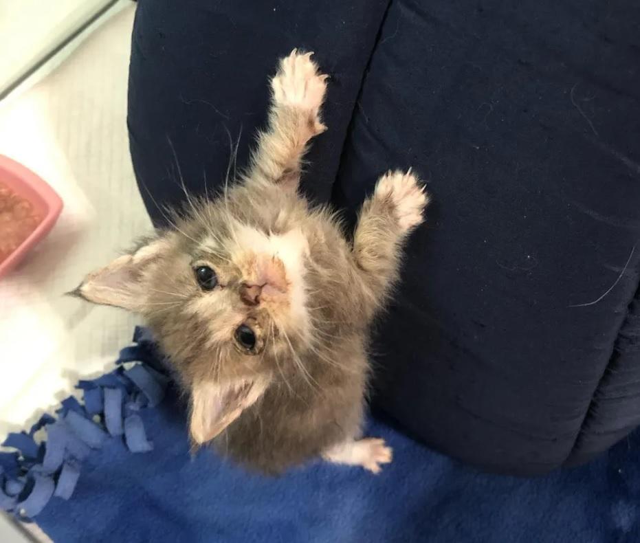 Котенок, найденный замерзающим размером меньше с ладонь, превращается в полноценного кота