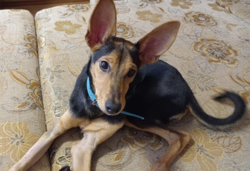 У собаки с заячьими ушами, которую хотели усыпить, появился шанс стать счастливой