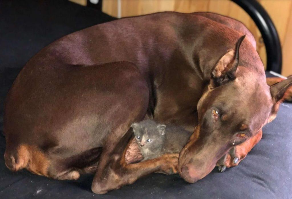 Доберман стала приемной мамой для маленького котенка