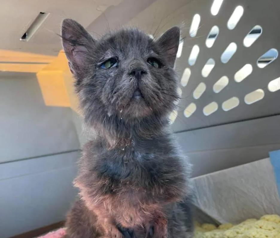 5-месячный котенок имеет редкое заболевание, которое придает ему уникальный вид мудрого котика-страдальца