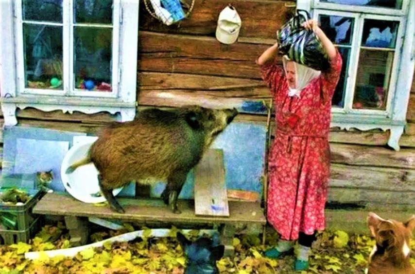 Исхудавший кабан слезно молил бабку о еде: Все соседи обелели, узнав, как кабан отблагодарил бабулю