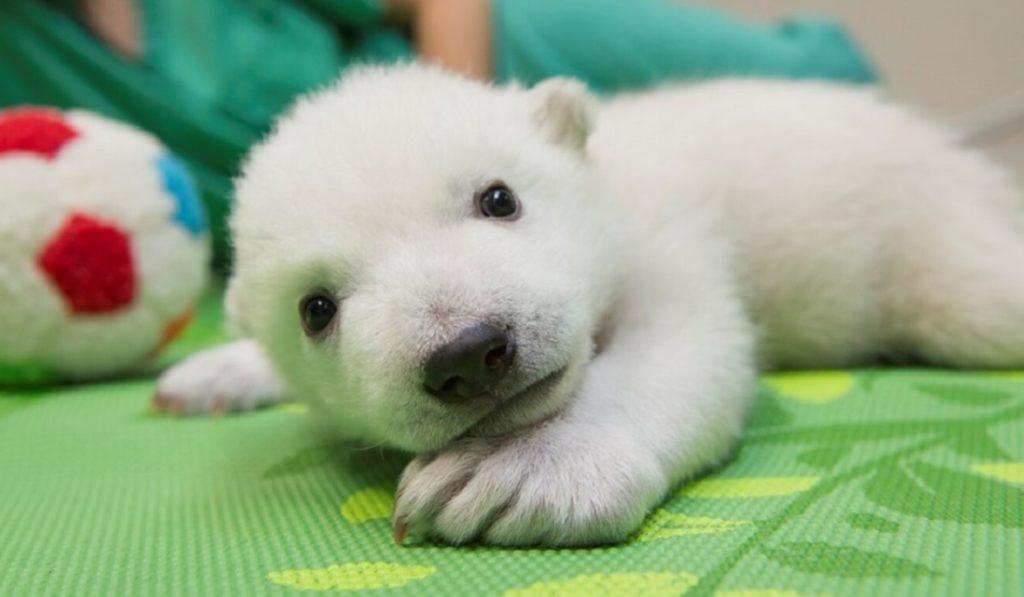 Полярники спасли белого медвежонка, который остался сиротой и он обрел новый дом